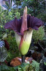 amorphophallus-titanum